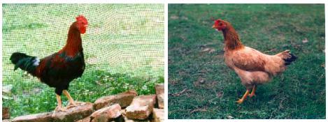 đặc điểm ngoại hình của gà ri | Món Miền Trung